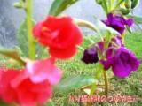 庭の花・ホウセンカ.JPG