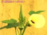 庭の花・オクラ.JPG